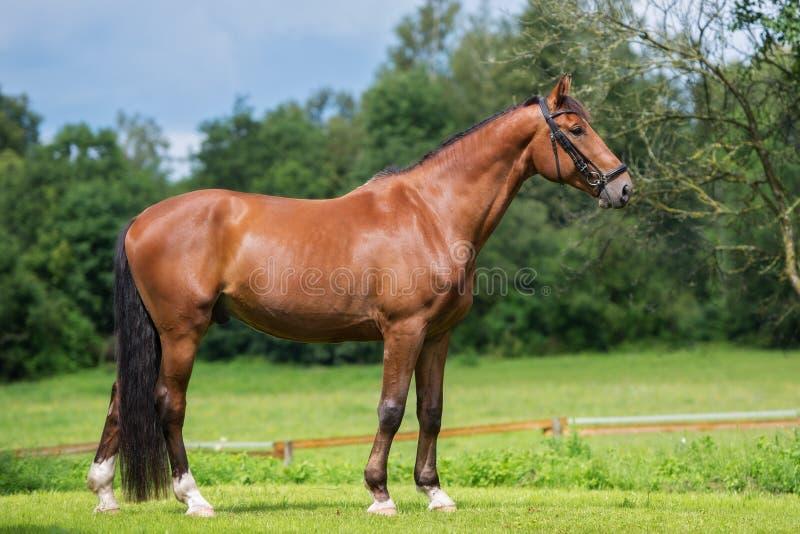 Bello cavallo marrone che sta all'aperto fotografie stock libere da diritti