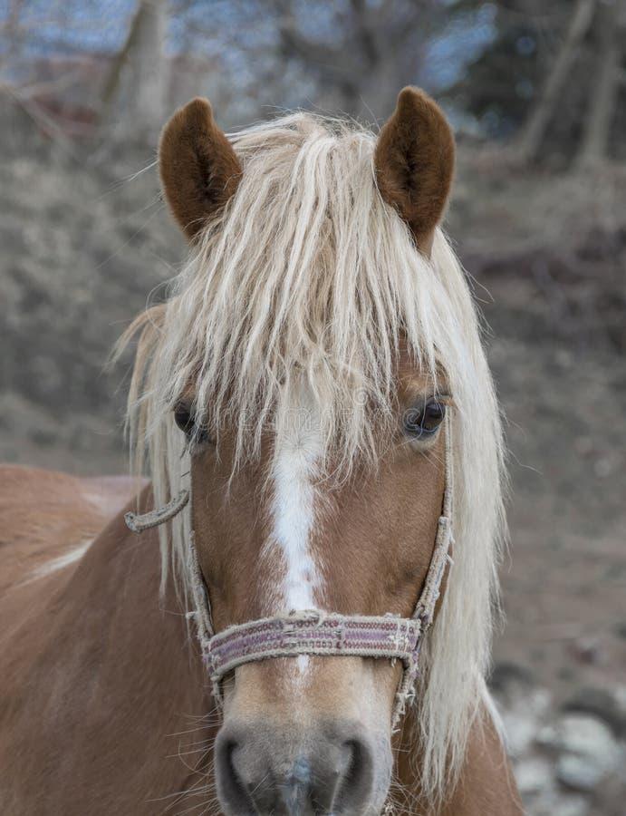 Bello cavallo marrone con la criniera bianca immagini stock libere da diritti