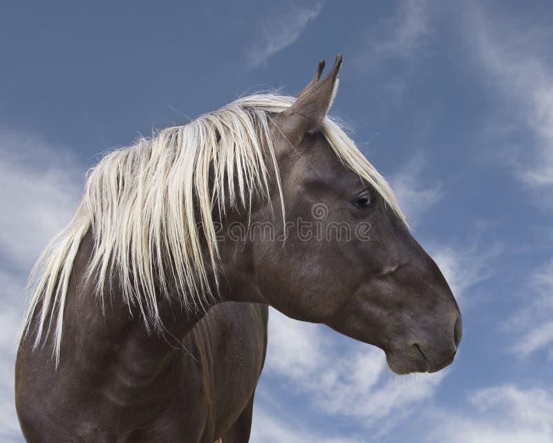 Bello cavallo nero marrone con la criniera bionda immagine stock libera da diritti