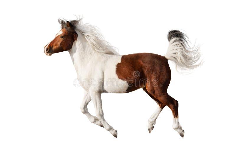 Bello cavallo pezzato isolato immagine stock