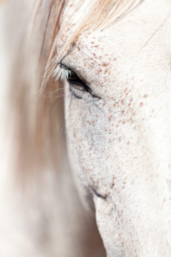 Bello cavallo pre andaluso di espanola di raza di pura fotografie stock libere da diritti
