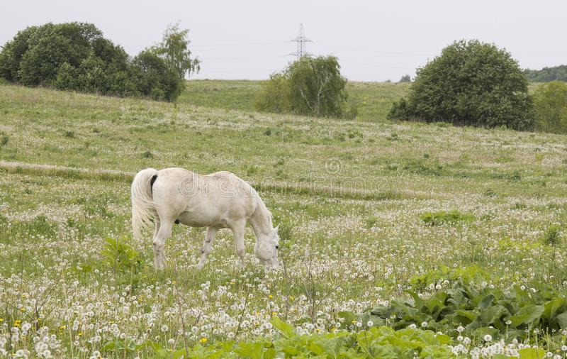 Bello cavallo sul campo dei denti di leone immagine stock libera da diritti