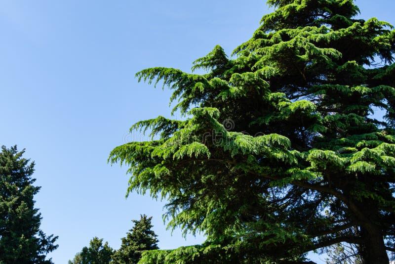 Bello Cedar Cedrus Deodara himalayano, cedro deodara che cresce sulla costa di Mar Nero in città Tuapse fotografie stock