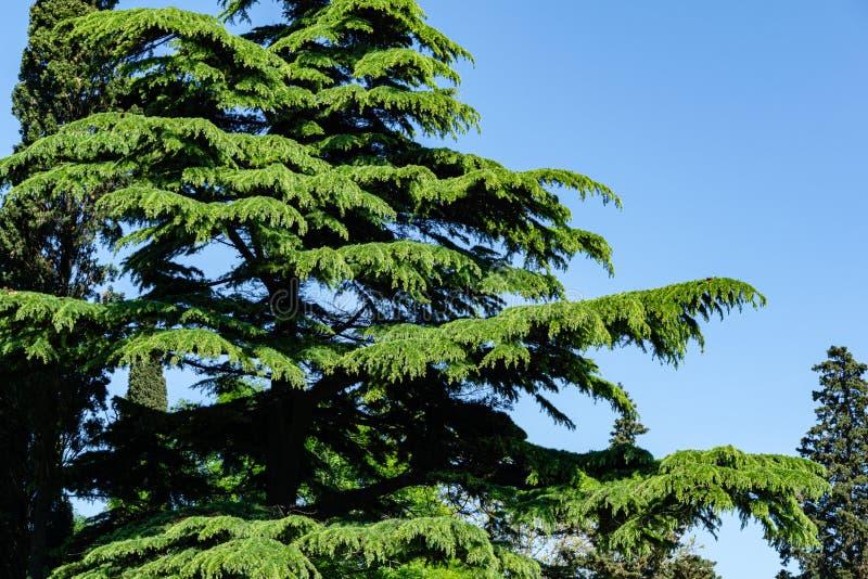 Bello Cedar Cedrus Deodara himalayano, cedro deodara che cresce sulla costa di Mar Nero in città Tuapse immagine stock libera da diritti