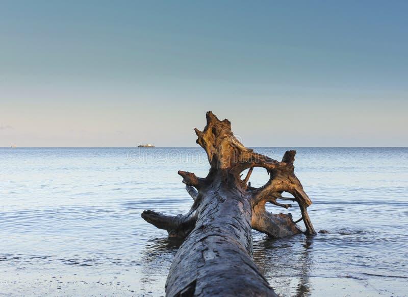 Bello ceppo di legno lavato su sulla riva della spiaggia di Nadi in Figi spiaggia di legno di connessione con le navi ed il chiar fotografia stock libera da diritti