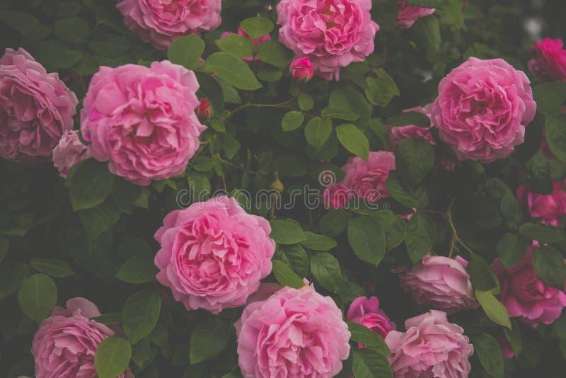 Bello cespuglio con le rose immagine stock