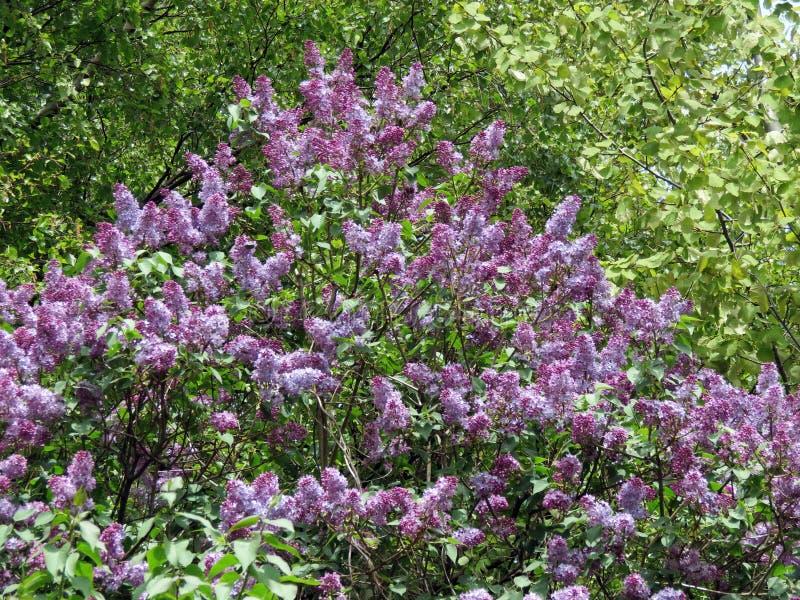 Bello cespuglio di fioritura in primavera, Lituania immagine stock