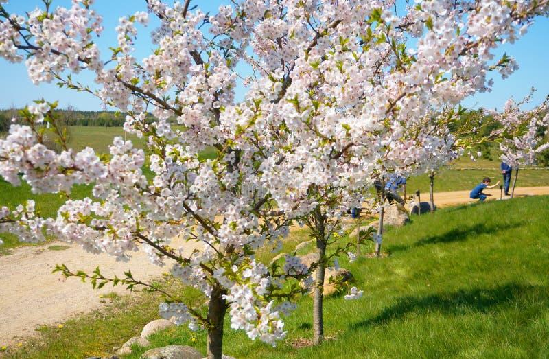 Bello Cherry Blossom Lane d'avvolgimento Albero di Sakura in primavera fotografie stock libere da diritti