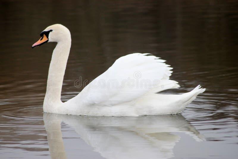 Bello cigno bianco che galleggia sul lago fotografia stock