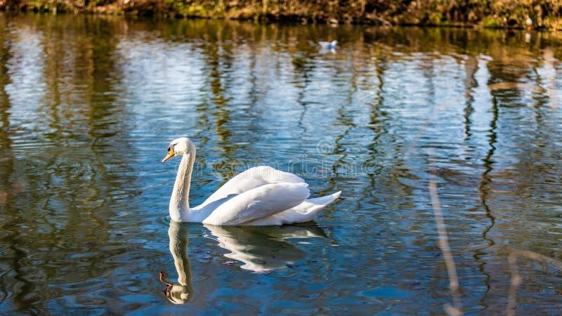 Bello cigno bianco che nuota tranquillamente in un lago che riflette nell'acqua fotografia stock
