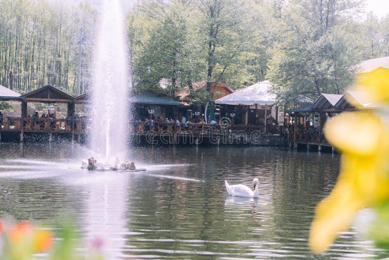 Bello cigno bianco che nuota in un lago con una grande fontana immagine stock libera da diritti