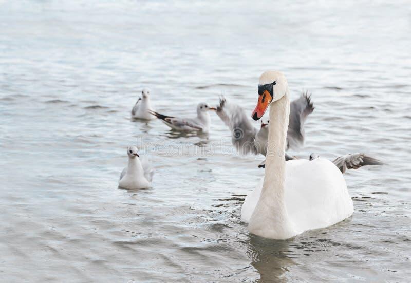 Bello cigno bianco con la famiglia, gabbiani fotografie stock libere da diritti