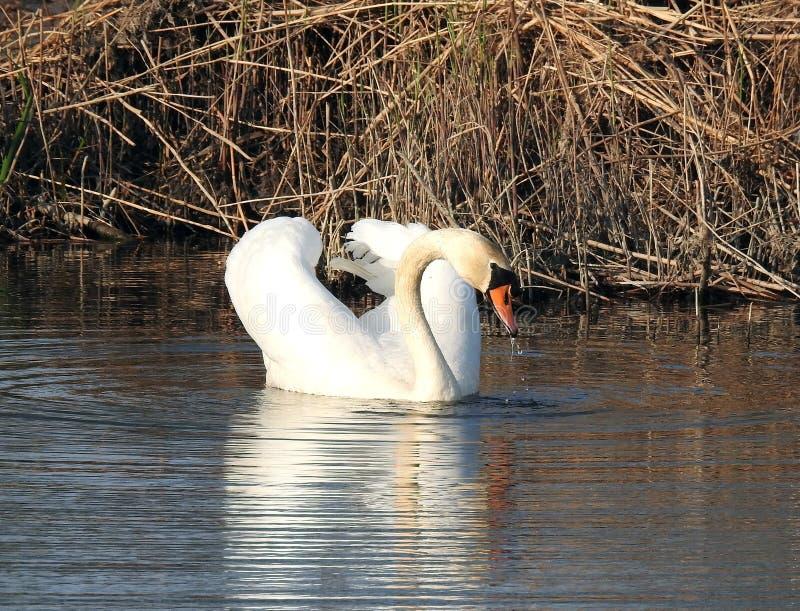 Bello cigno bianco, Lituania fotografie stock