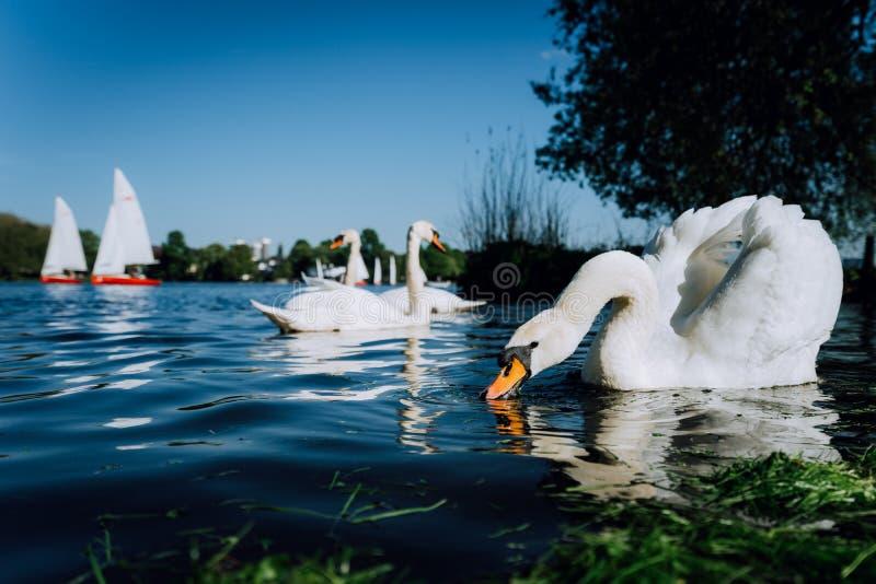 Bello cigno bianco sveglio di tolleranza sul lago Alster un giorno soleggiato Barca a vela bianca di piacere nel fondo amburgo immagini stock libere da diritti