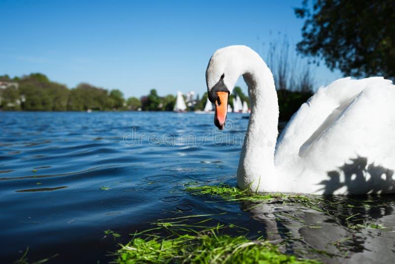 Bello cigno bianco sveglio di tolleranza sul lago Alster un giorno soleggiato Barche a vela bianche di piacere che passano nel fo immagine stock libera da diritti