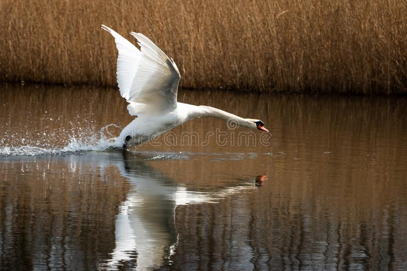Bello cigno nel fiume ed o in fossa immagini stock libere da diritti