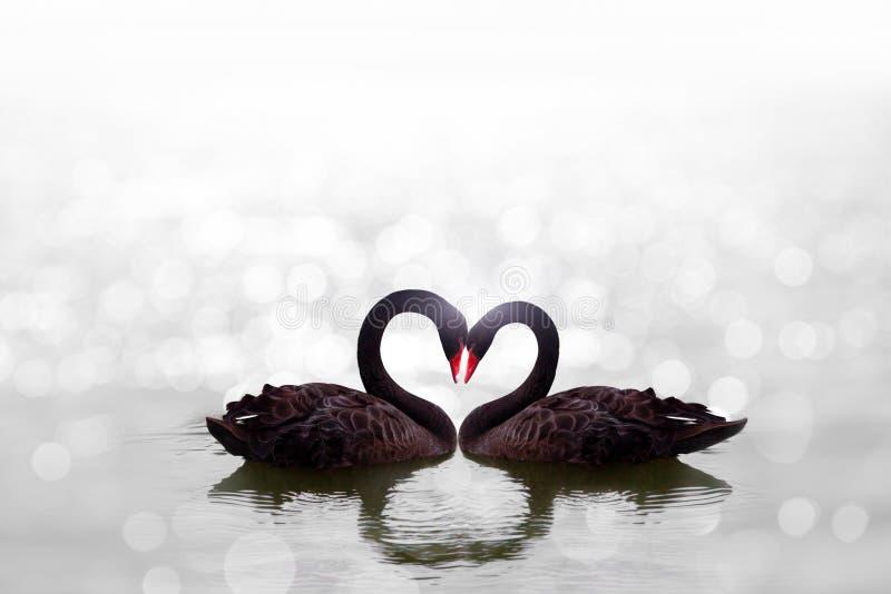 Bello cigno nero nella forma del cuore sul bokeh bianco del lago immagini stock