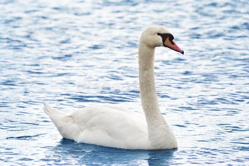 Download Bello cigno sul lago fotografia stock. Immagine di calma - 30830644