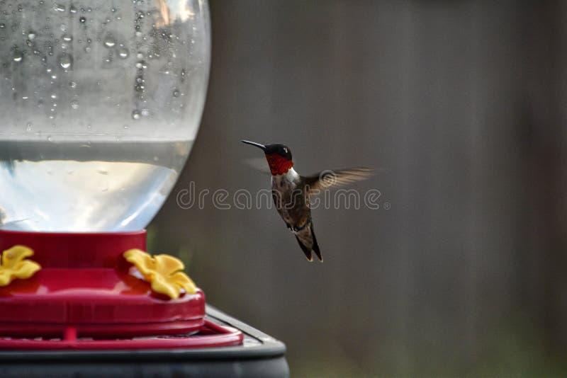 Bello colibrì rosso della gola immagine stock libera da diritti