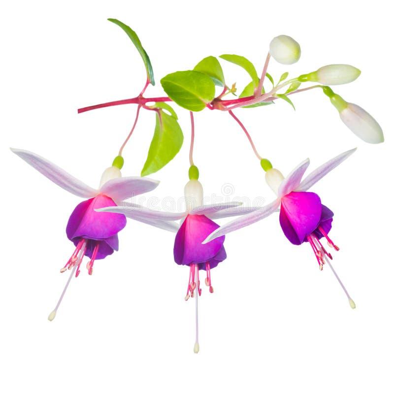 Bello (collage) fiore fucsia variopinto fantastico sbocciante immagine stock