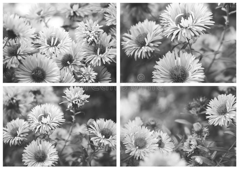 Bello collage stilizzato, foto in bianco e nero Autumn Flower - crisantemo fotografia stock