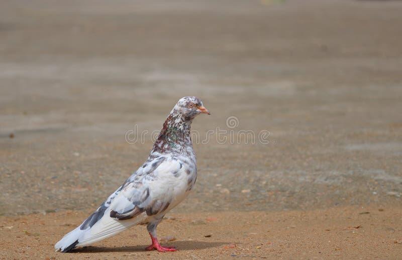 Bello colore del piccione fotografia stock
