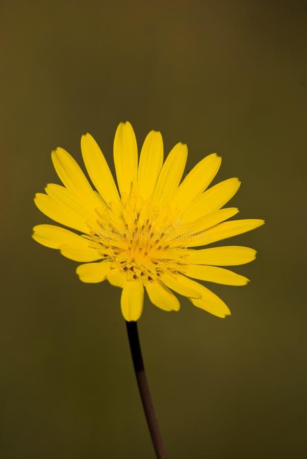 bello colore giallo del fiore fotografie stock libere da diritti