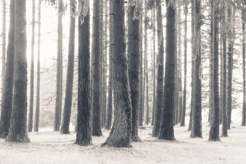 Bello colpo degli alberi alti in una foresta coperta in neve fotografia stock