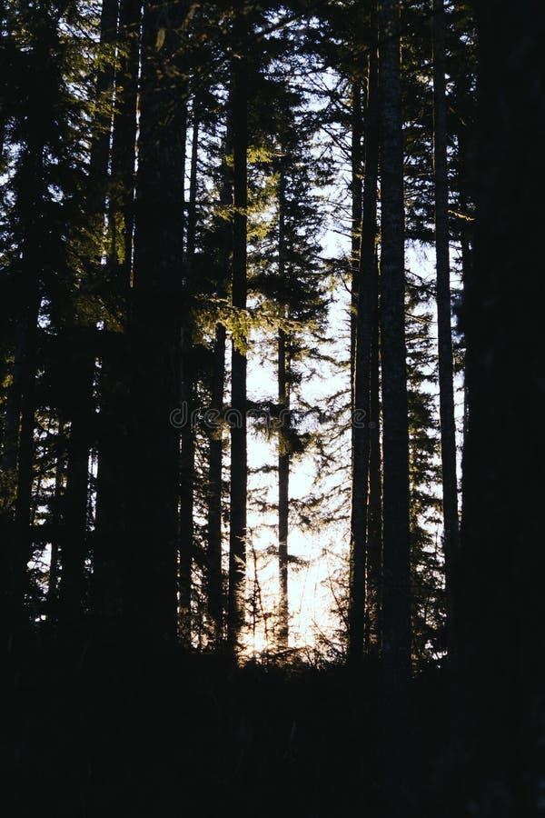 Bello colpo degli alberi alti in una foresta nella sera immagine stock libera da diritti