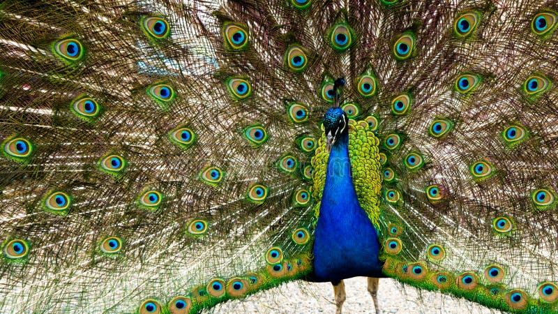 Bello colpo del pavone con l'ala completamente spanta su esposizione fotografia stock