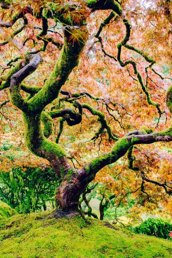 Bello colpo di un albero curvy con lo stupore delle foglie variopinte sopra una collina verde ripida immagine stock