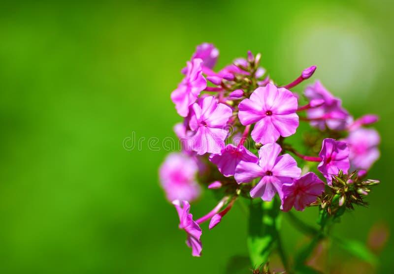Bello confine floreale dei fiori rosa immagini stock