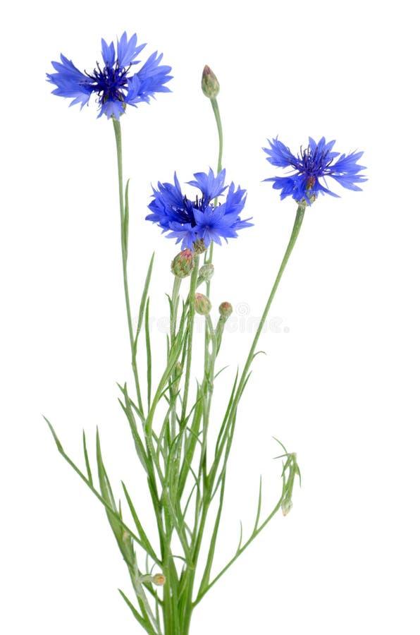 Bello cornflower blu fotografia stock libera da diritti