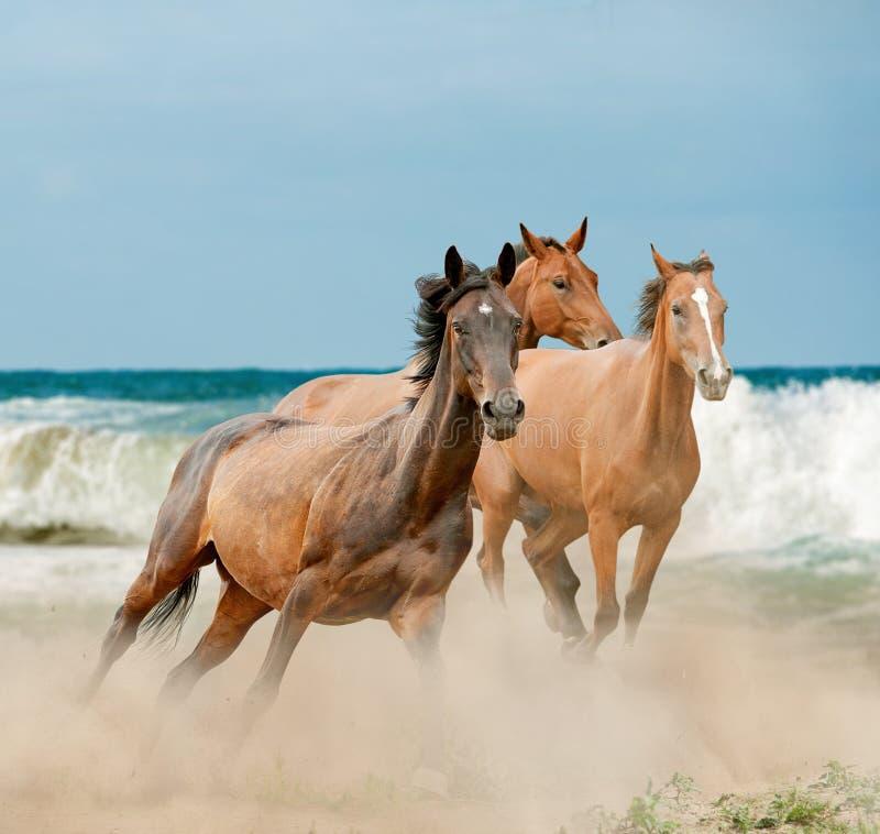 Bello correre dei cavalli selvaggii fotografie stock libere da diritti