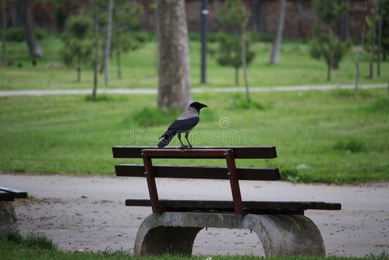 Bello corvo sul banco fotografia stock