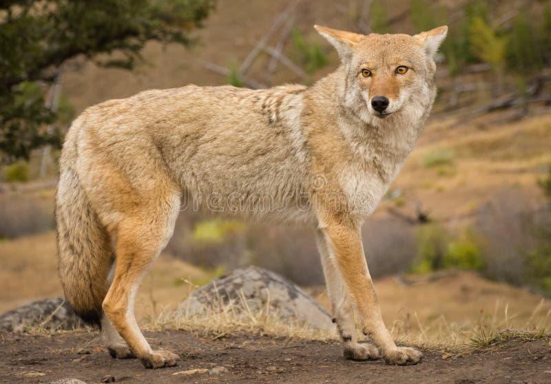 Bello coyote nel parco nazionale di Yellowstone fotografia stock