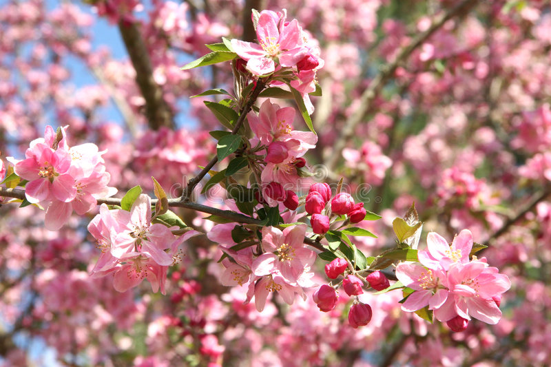 Bello Crabapple in primavera immagine stock