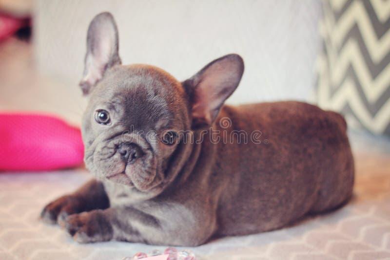 Bello cucciolo blu del bulldog francese immagini stock