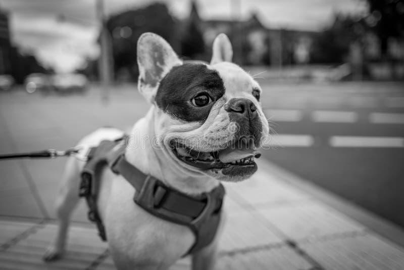 Bello cucciolo del bulldog francese fotografie stock libere da diritti