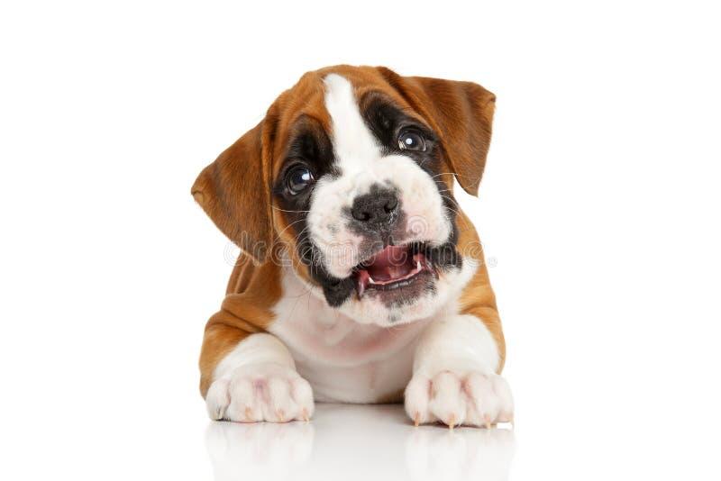 Bello cucciolo del pugile fotografia stock libera da diritti