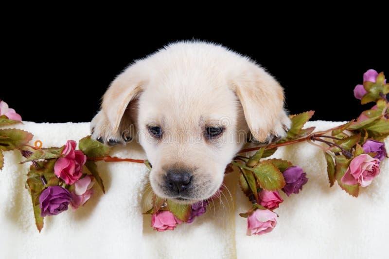 Bello cucciolo di labrador che si trova in scatola con l'asciugamano rosa immagini stock