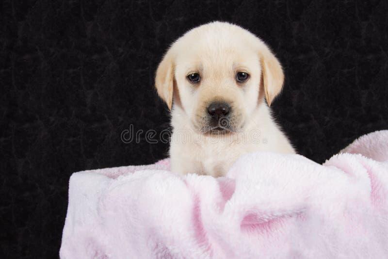 Bello cucciolo di labrador che si trova in scatola con l'asciugamano rosa immagine stock libera da diritti