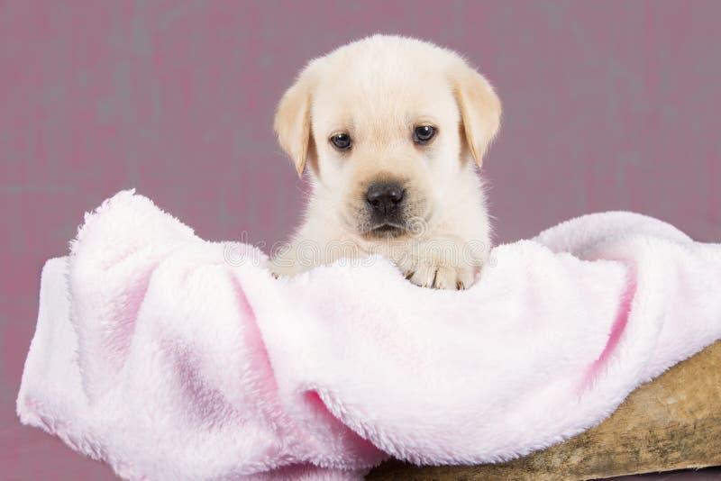 Bello cucciolo di labrador che si trova in scatola con l'asciugamano rosa immagini stock libere da diritti