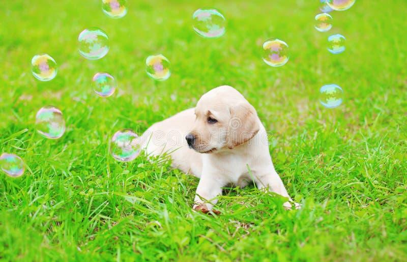 Bello cucciolo labrador retriever del cane con le bolle di sapone immagine stock