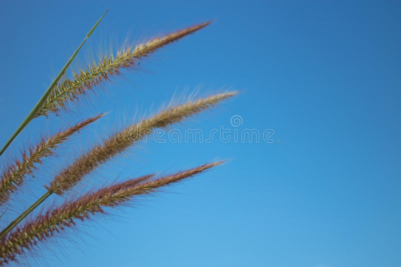 Bello del fiore della coda di volpe del knotroot immagini stock libere da diritti