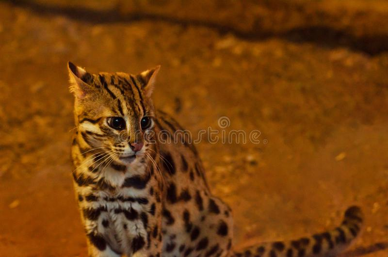 Bello del gatto di leopardo fotografia stock