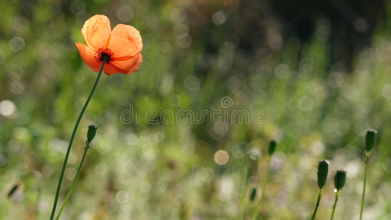 Bello, delicato, papavero di campo Papavero rosso su un fondo verde fotografia stock libera da diritti