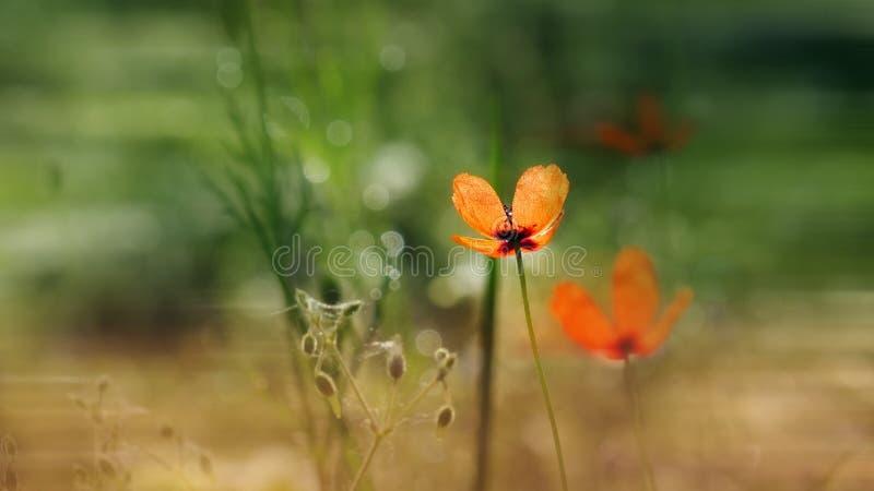 Bello, delicato, papavero di campo Papavero rosso su un fondo verde fotografie stock