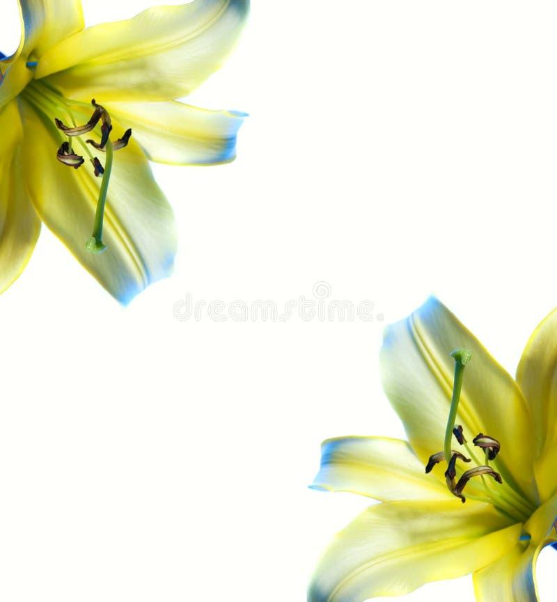 Bello dell'estratto blocco per grafici lilly fotografia stock