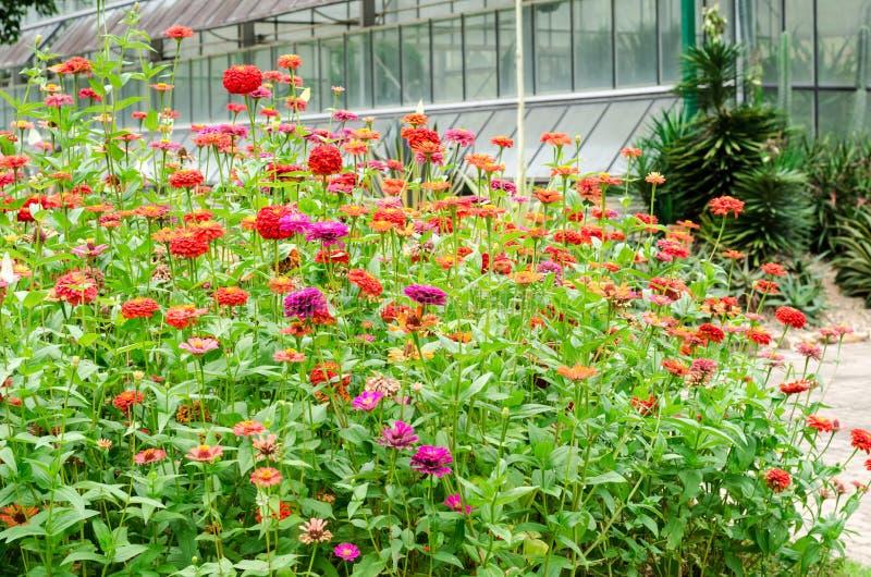 Bello della zinnia variopinta fiorisca nel parco naturale del giardino immagine stock